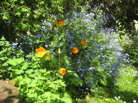 Welsh poppies and Brunnera
