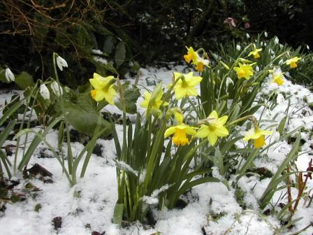 Narcissus, early January