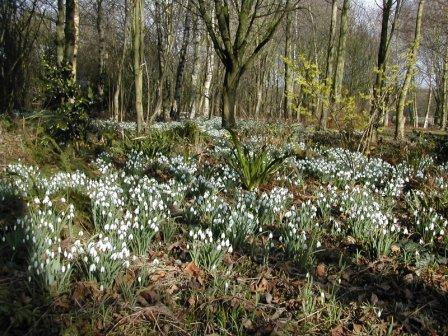 Snowdrops in the woodland